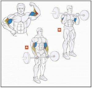 podyom shtangi na biceps